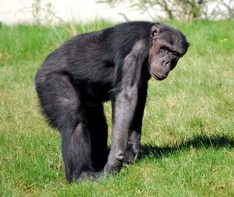 Gorilla Arms